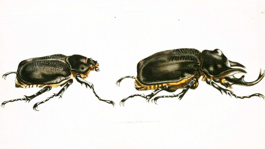 Animal - Insect - Horned beetle-1024x576