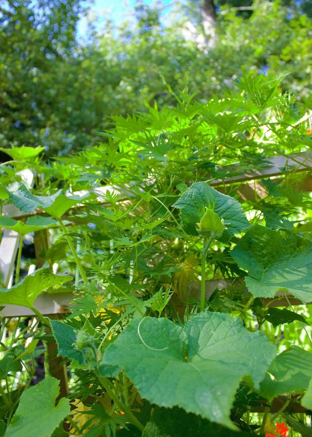 Plant Burpless Bush Hybrid Cucumber By The Freckled Rose