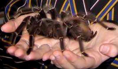 6 Endangered Species That Aren t Endangered Enough   Cracked com Goliath Bird Eating Spider