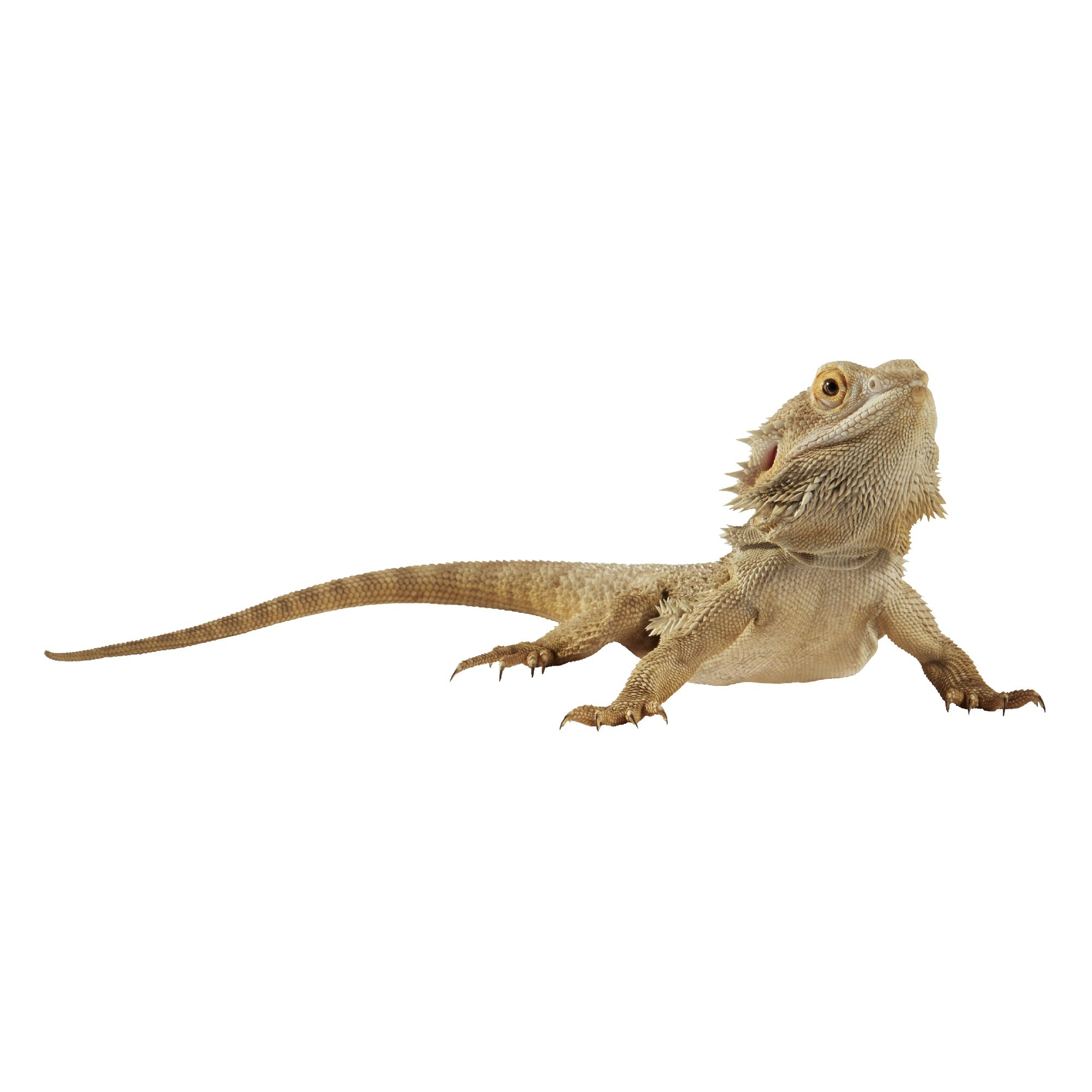 Bearded Dragon For Sale | Live Pet Reptiles | PetSmart