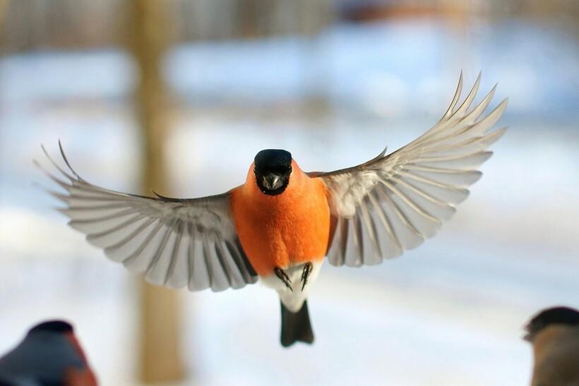 Размах крыльев снегиря обыкновенного