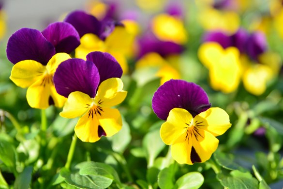 Winter flowering pansies   to brighten up your garden   Sarah Raven Flickr Dakiny Pansy