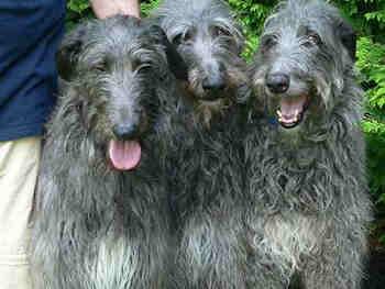 Scottish Deerhound Save A Rescue