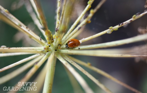 Plants For Beneficial Insects The Best Ones To Include In