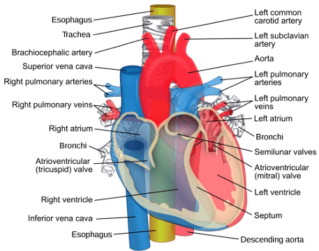 Pacific Medical Training - Circulatory System