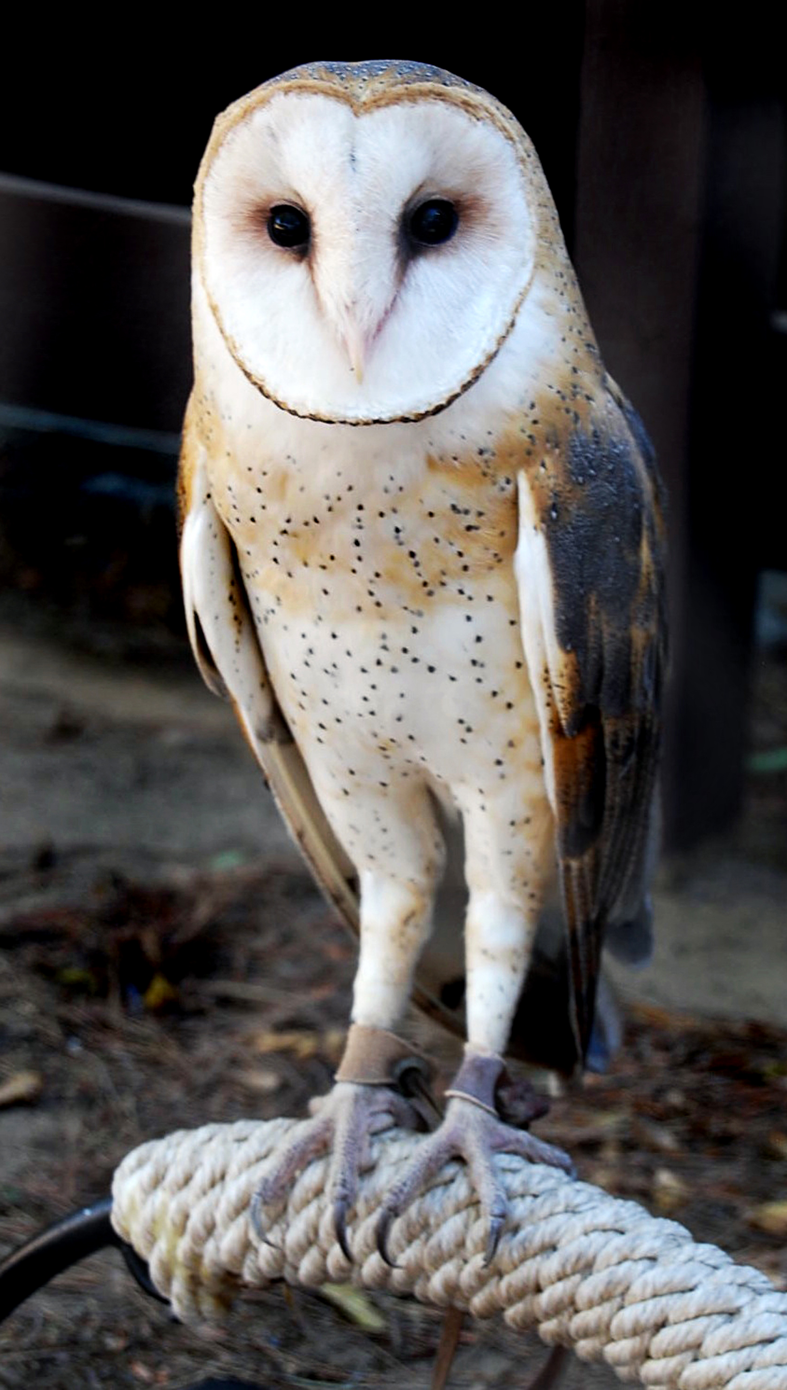 SCVNews.com | Opinion/Commentary: Barn Owl: Beautifully ...