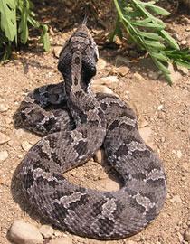 DNR: Eastern Hog-nosed Snake