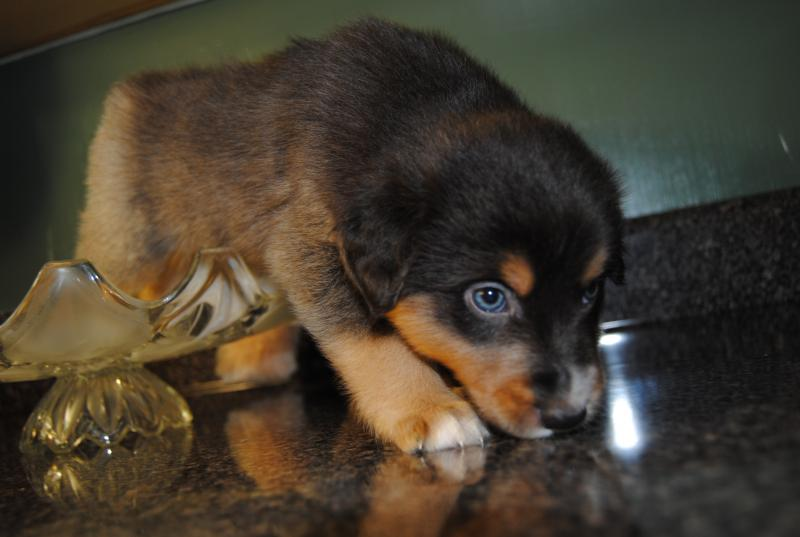 Shamrock Rose Aussies Scroll Down For Available Puppies Born 8 10 16 Quot Featured Quot Past Puppy