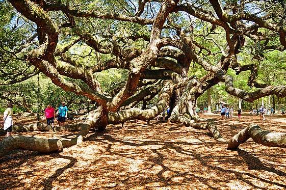 largest oak tree