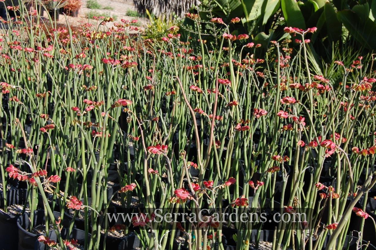 Pedilanthus Bracteatus Cacti Com