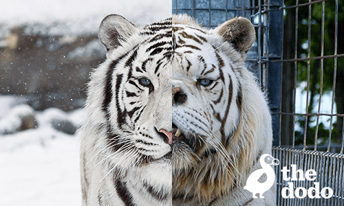 The Dodo S The Disturbing Truth About White Tigers