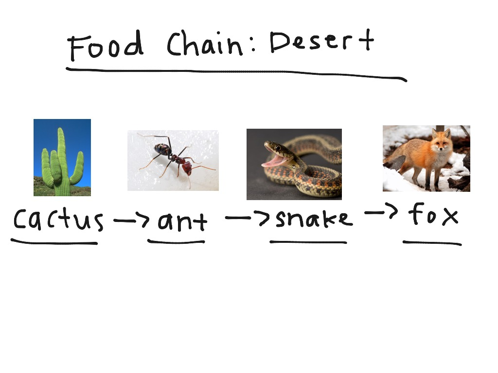 Food Chain Of The Desert Ecosystem | Food