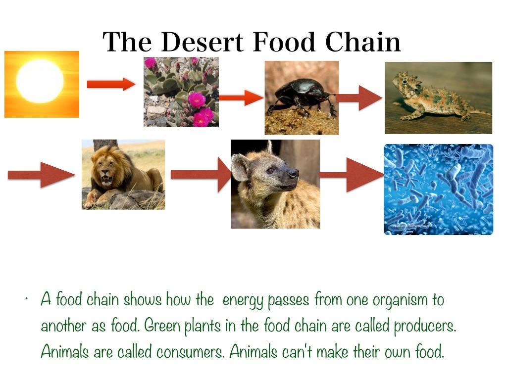 Food Web For Sahara Desert | Food