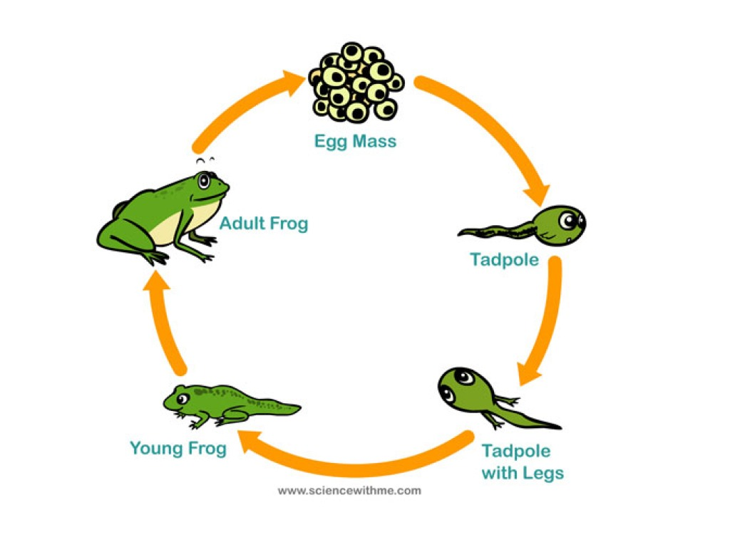 Frog Reproduction Cycle