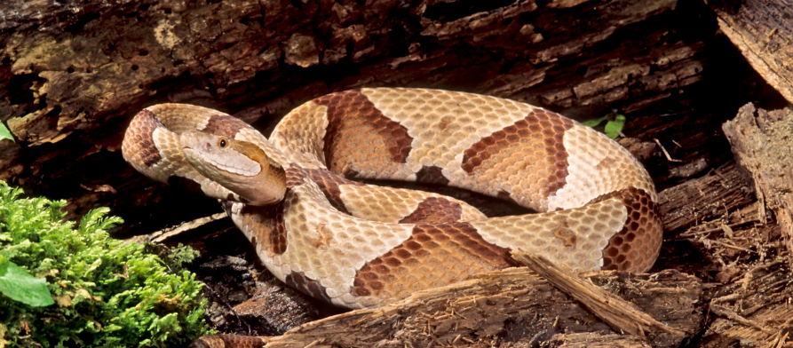 What to Know About Venomous Snakes in Maryland