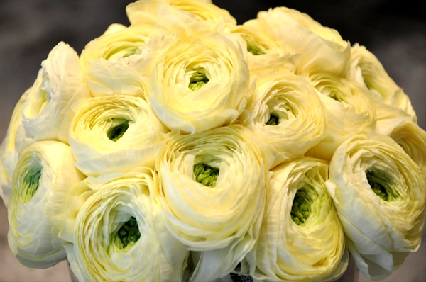 Cream Shades   Ranunculus   Flowers and Fillers   Flowers by     Grower and Breeder Information
