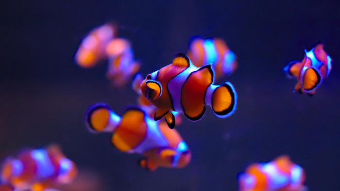 20 Pretty Wallpapers For Your Desktop Screens   SimpleFreeThemes This is a very colorful and super pretty wallpaper of different clown  fishes diving n the water together