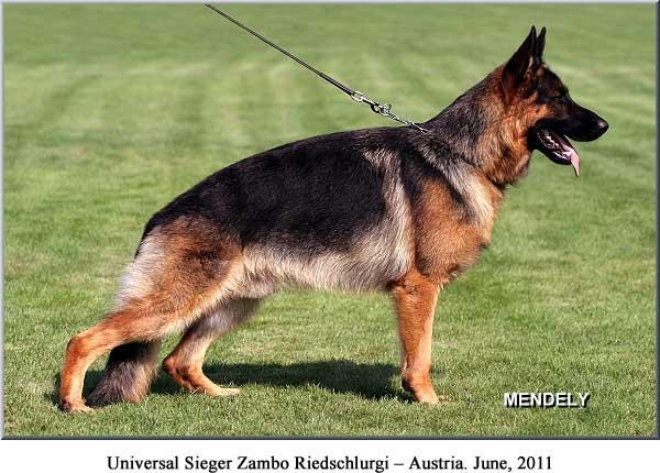 Line American German Show Shepherds