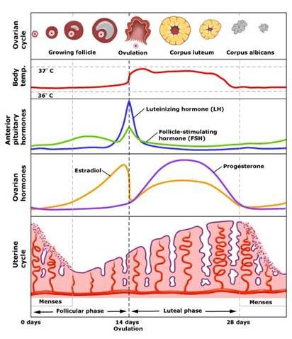 Menstrual cycle - Medicnote