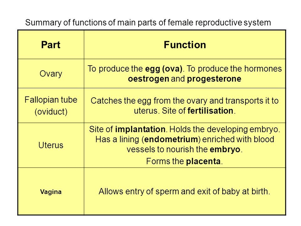 Main Organs Of Male Reproductive System Diagram