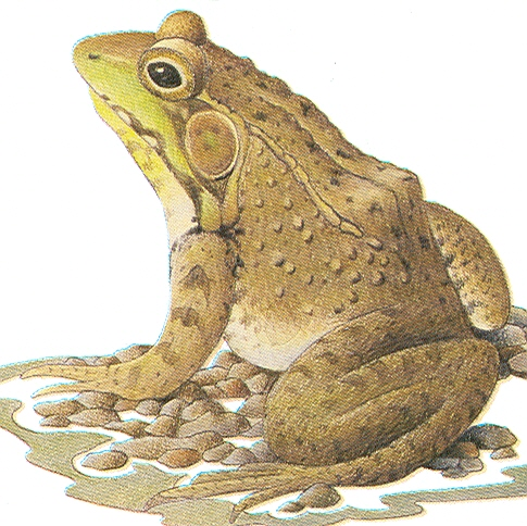 Frogs and Toads Identification Game « Creek Connections ...