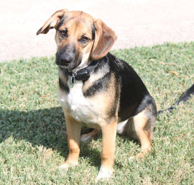 beagle mixed with german shepherd - 628×600