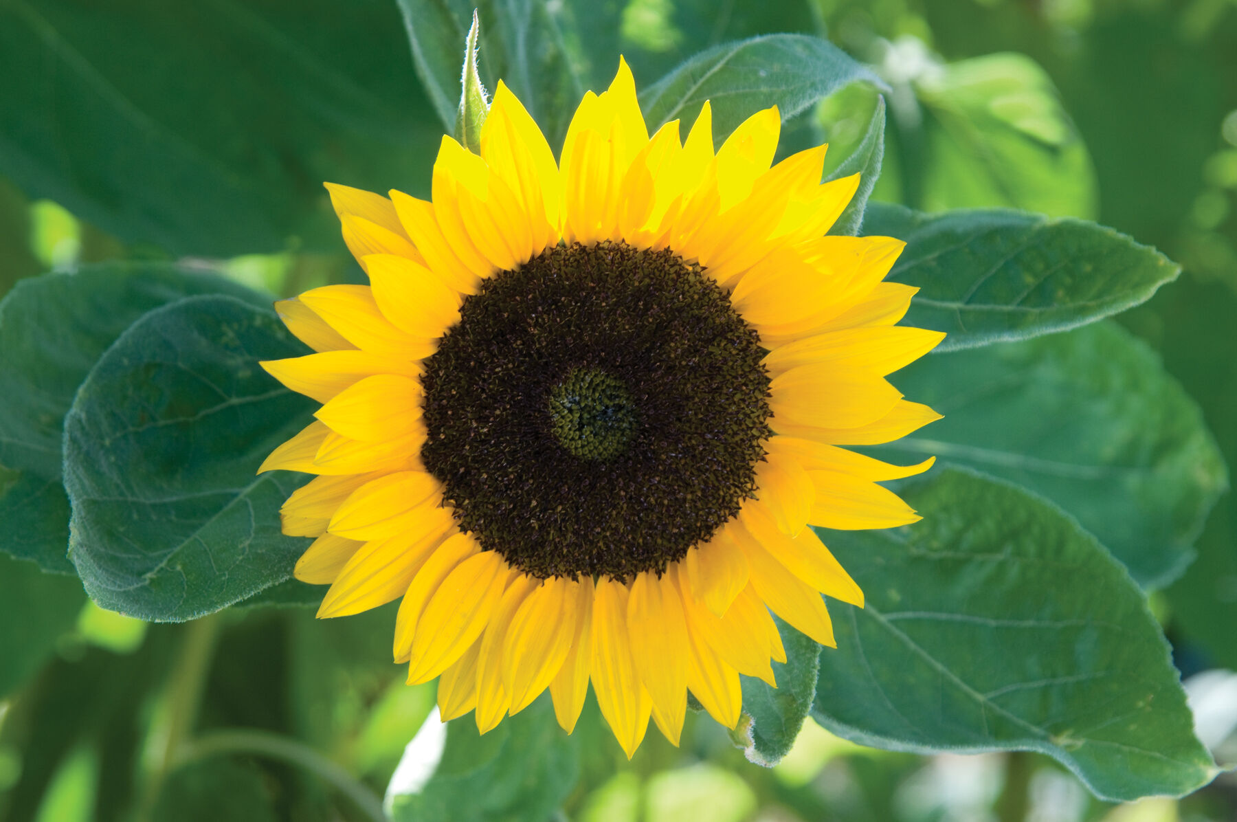 Zohar   Organic  F1  Sunflower Seed   Johnny s Selected Seeds Zohar Tall Sunflowers