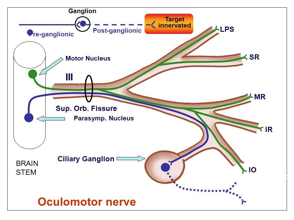 Exelent Oculomotor Nerve Anatomy Model - Human Anatomy Images ...