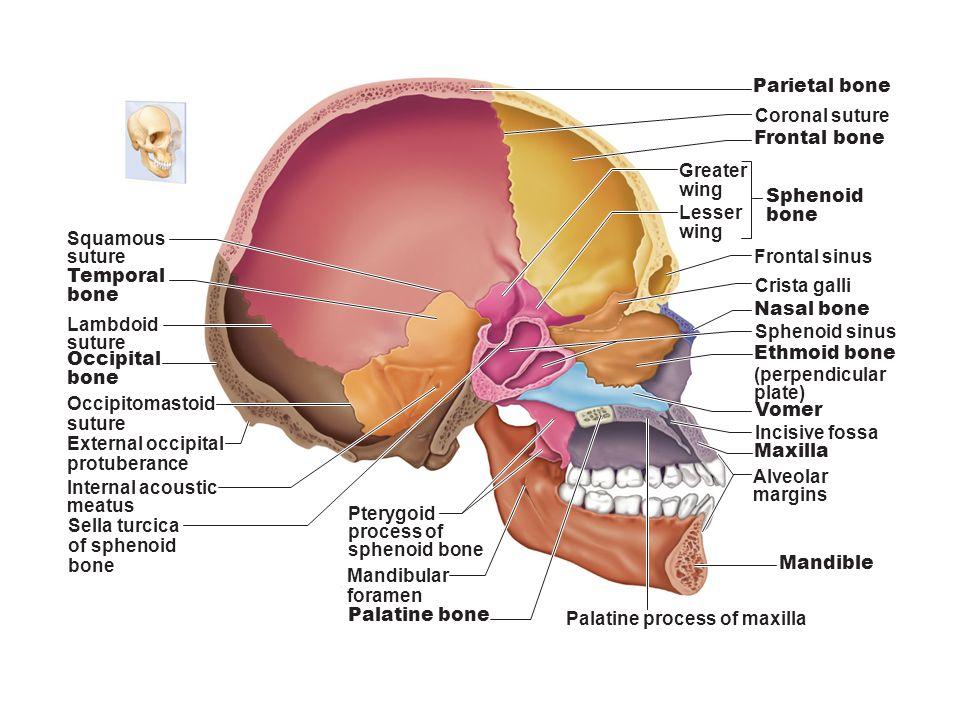 Skull Frontal Process Of Maxilla Bone Structure