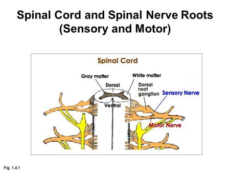Central nervous system (CNS) Brain + Spinal Cord - ppt ...