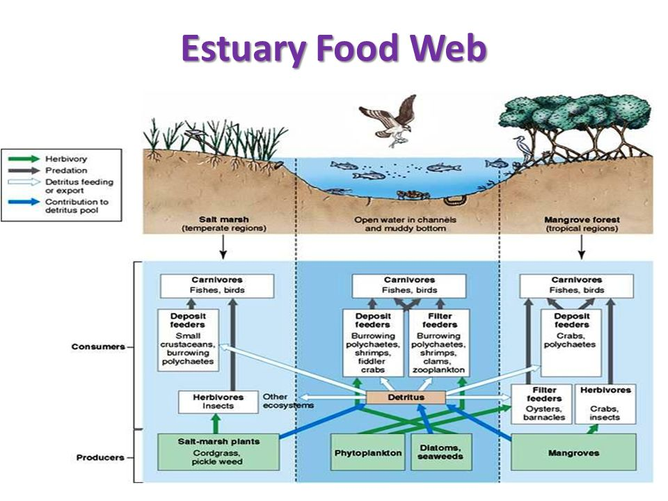 Estuary Food Web Diagram Electrical Wiring Diagram House