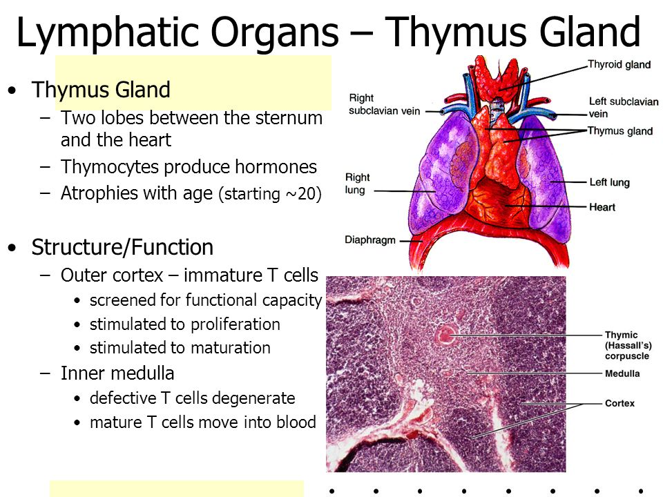 Thymus Hormones And Functions