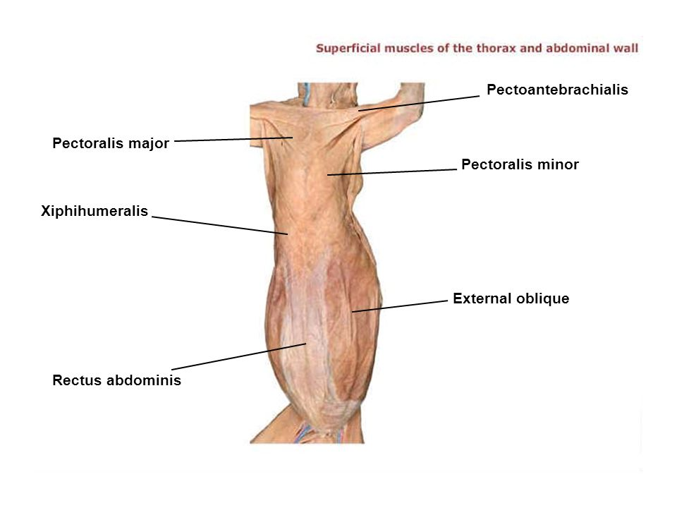 External Abdominal Oblique Muscle Of Cat