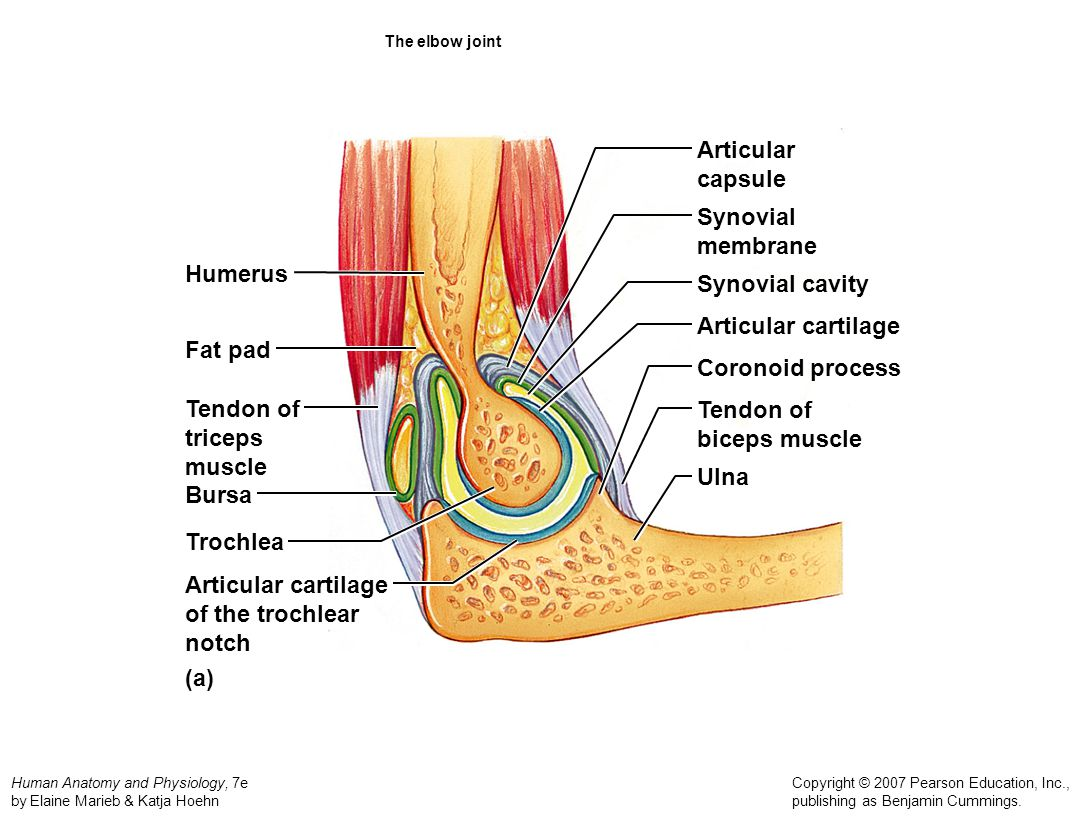 Synovial Joint Blank Diagram