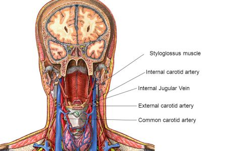 Internal Jugular Vein Anatomy Full Hd Pictures 4k Ultra Full
