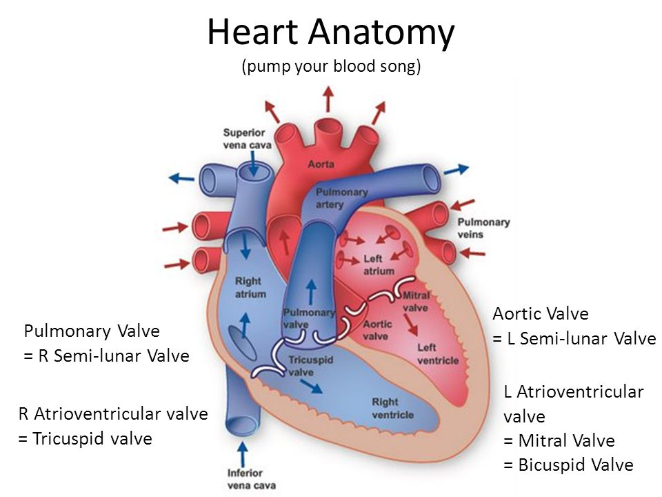Pulmonary Valve Anatomy