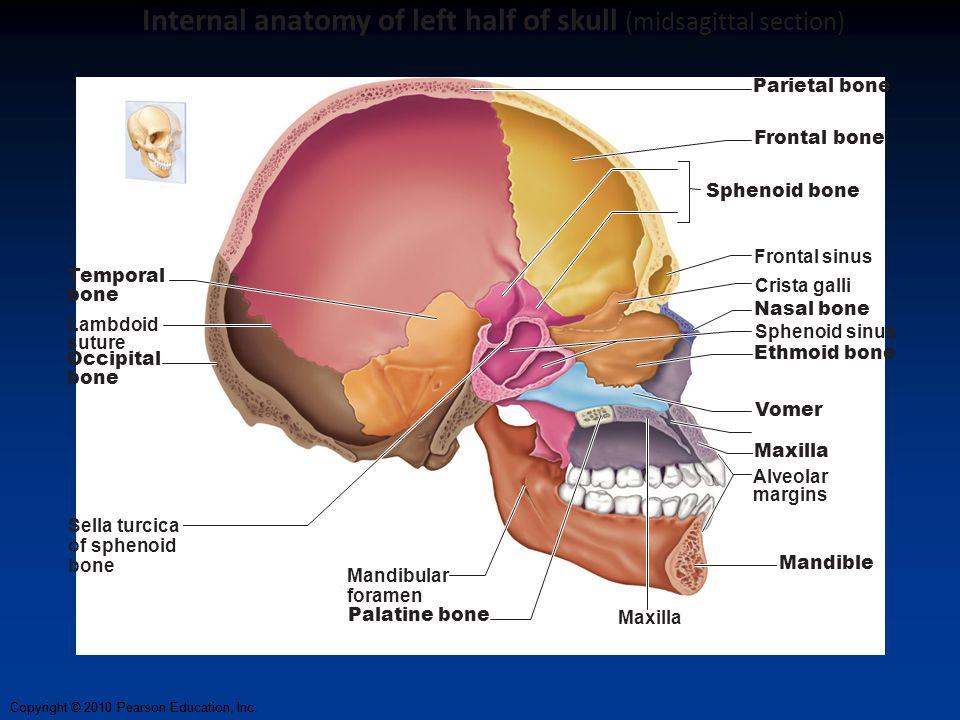 Blank Skull Diagram Midsagittal Custom Wiring Diagram