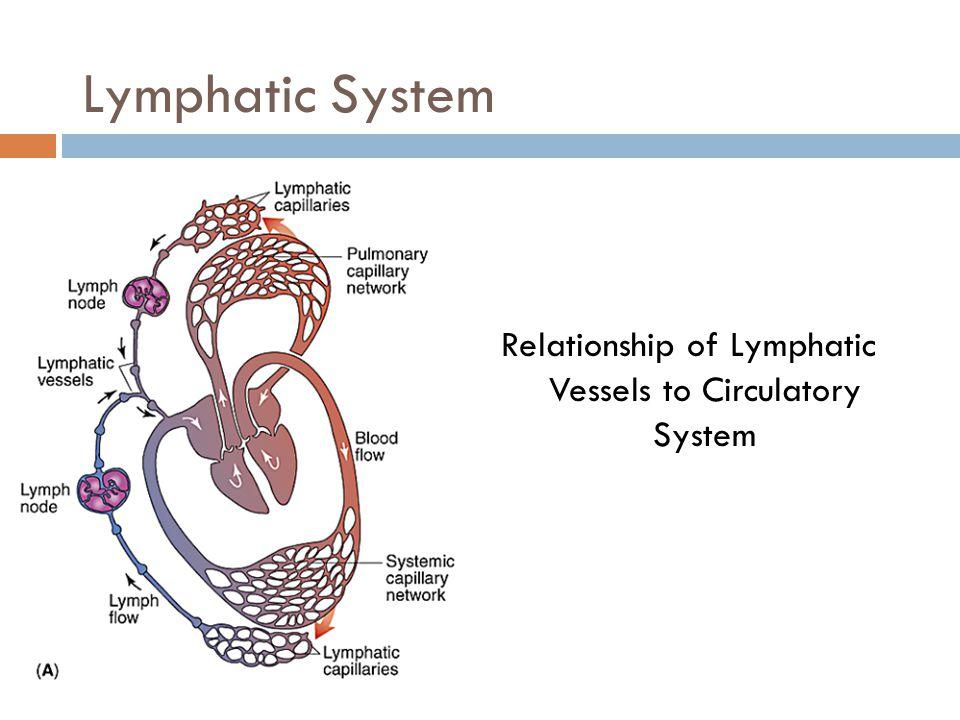Lacteal Lymph Capillaries