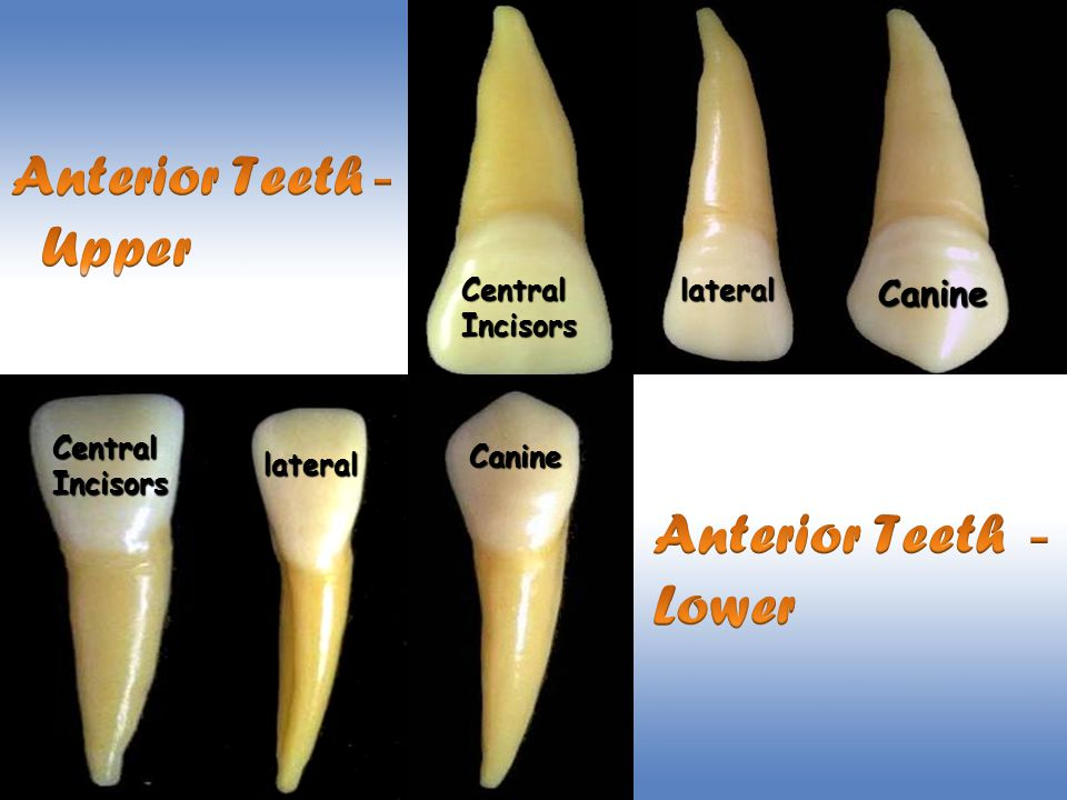 Lower First Molar Anatomy