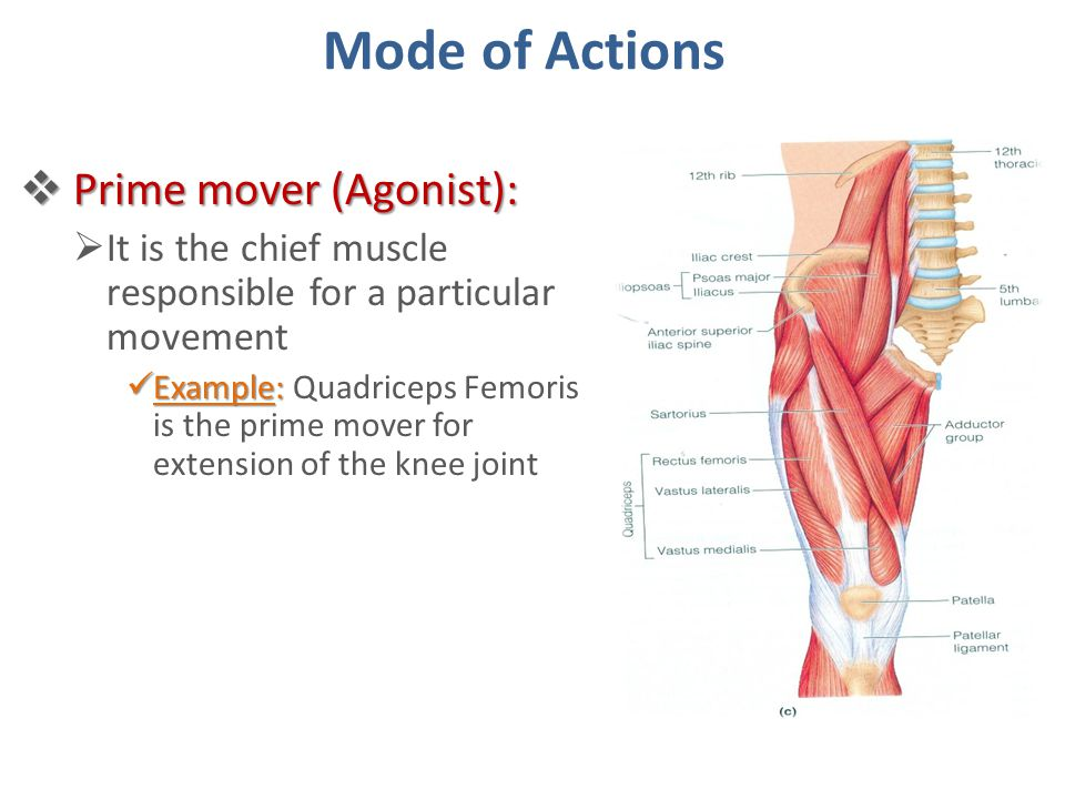Knee Extension Muscles Agonist