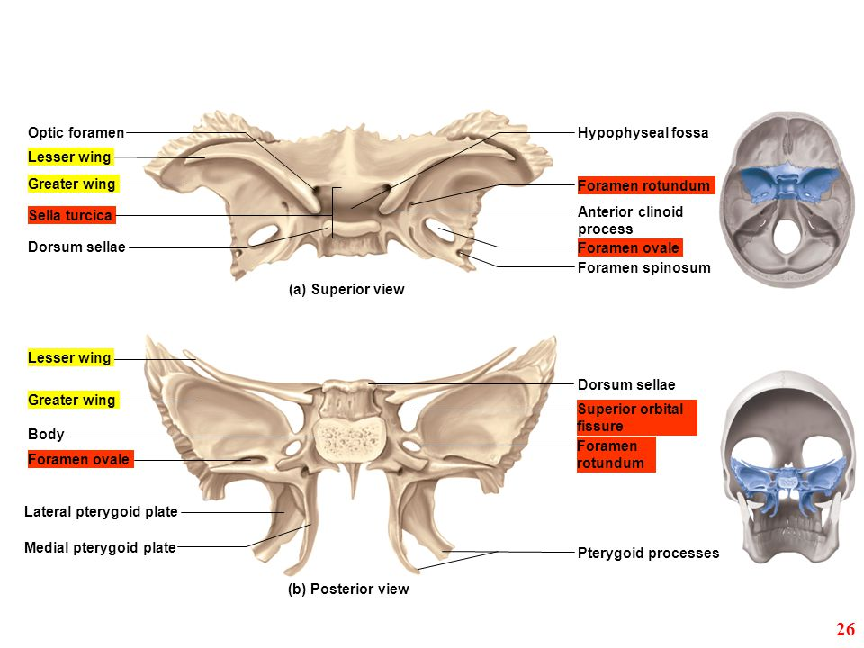 Greater Wing Sphenoid Ethmoid Crista Galli Foramen Magnum