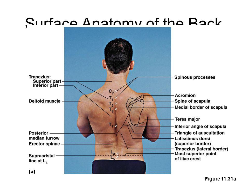 Anatomy Of Posterior Upper Buttock