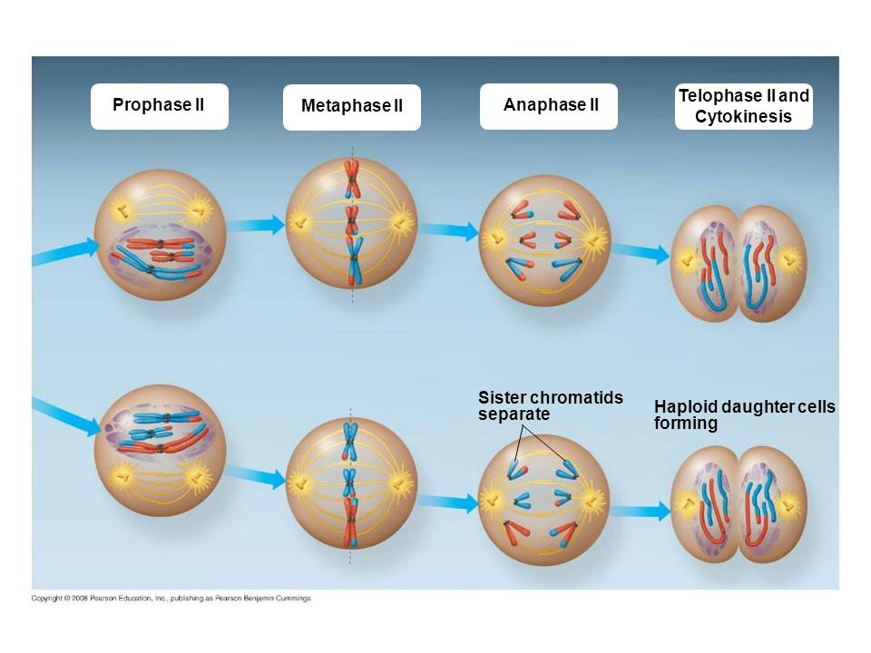 Anaphase 2 Diagram Labeled Trusted Wiring Diagrams