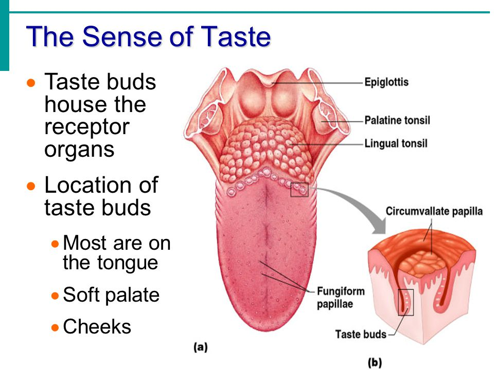 Location Buds Taste Tongue