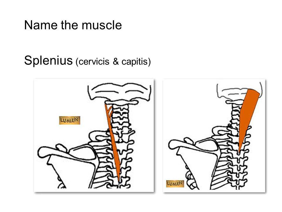 Scalenes Splenius Capitis Cervicis