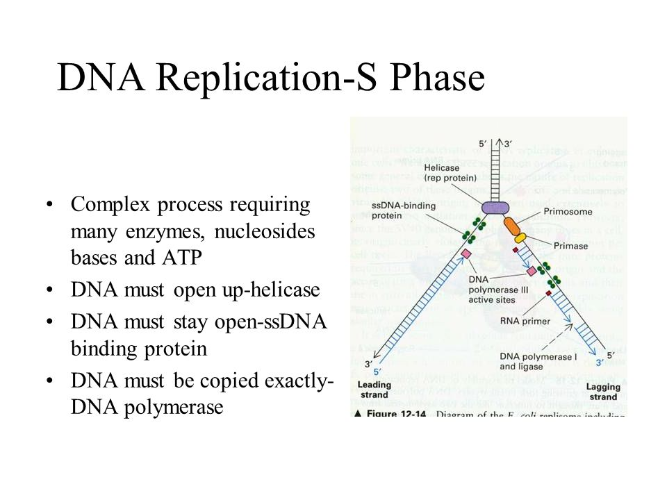 Dna Replication Proteins