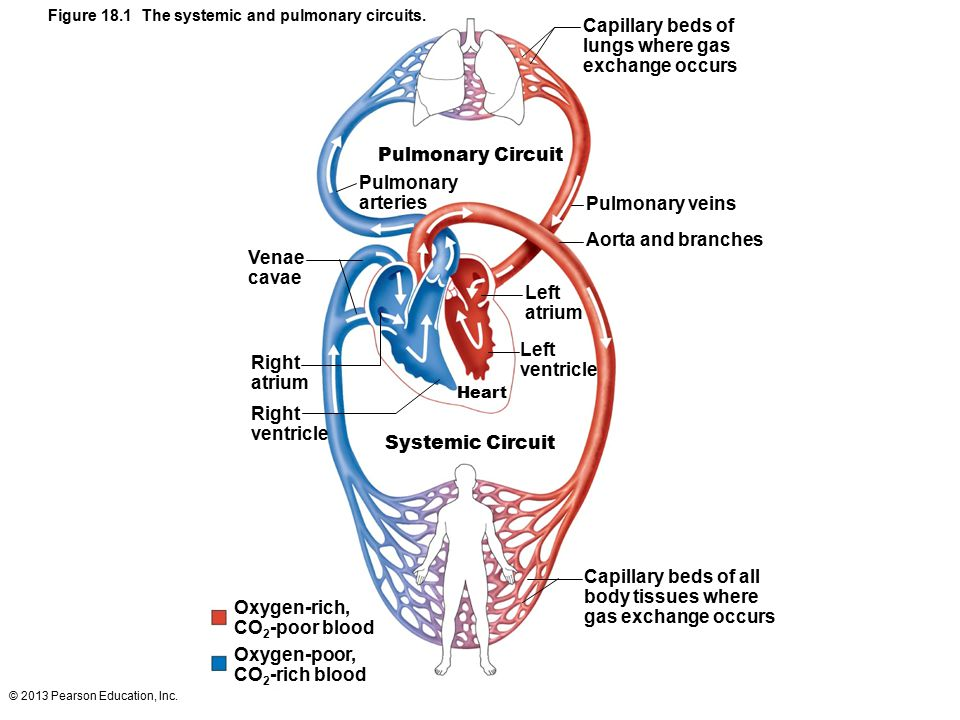 And The Location Of Heart Chambers