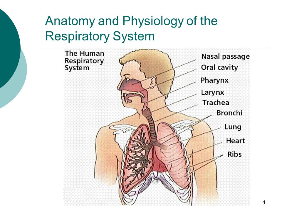 Respiratory System With Alveoli And Bronchioles