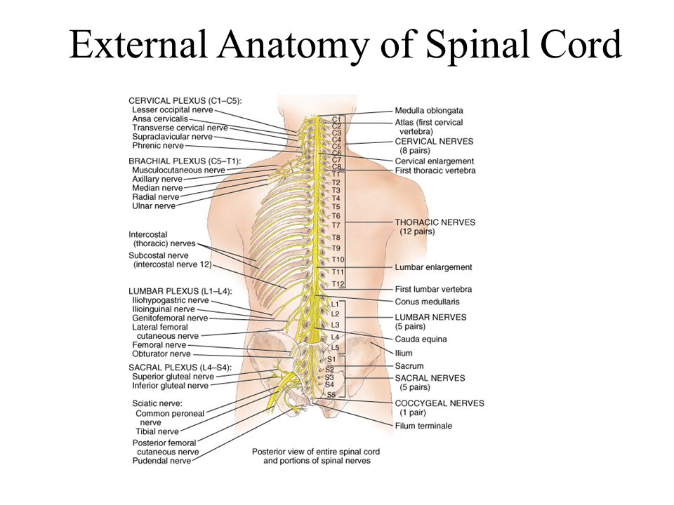 Anatomy Of Lumbar Spinal Canal
