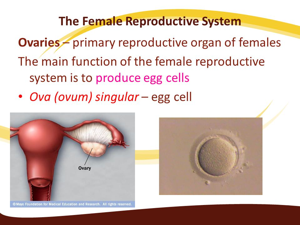Human Egg Cell Royalty Free Stock Image - Image: 34703536